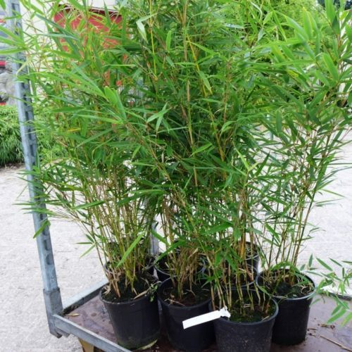 bambus horstbildend bambus winterhart horstbildender bambus pflanzen preisvergleich bambus. Black Bedroom Furniture Sets. Home Design Ideas