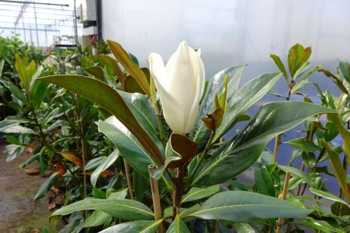 Magnolie Kleinwüchsig magnolien pflanzenquelle