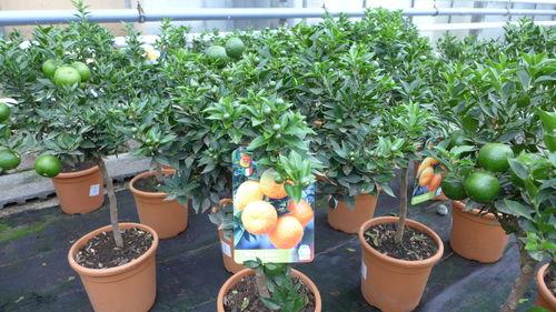65-80 cm Orangenbaum Citrus arancio sinensis ca
